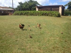 Spouting-Horn-Chickens