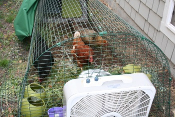 Chickens in Eglu with white fan pointed straight at them