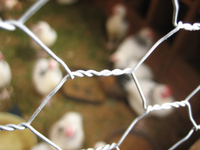 chicken_wire_close-up